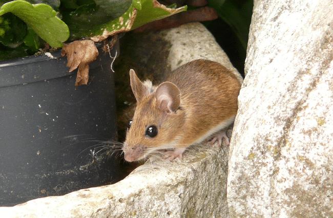 Checklist ratten en muizen verdelgen